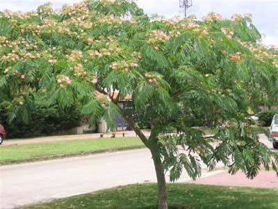 Albizzia for Arboles ornamentales hoja perenne para jardin
