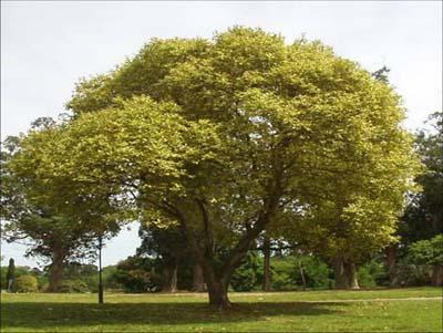 Arboles sus clasificaciones taringa for Arboles de jardin de hoja perenne